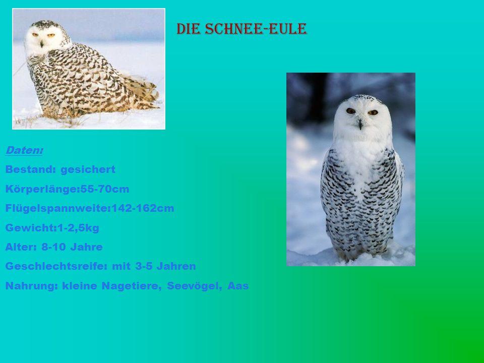 Die Schnee-Eule Daten: Bestand: gesichert Körperlänge:55-70cm Flügelspannweite:142-162cm Gewicht:1-2,5kg Alter: 8-10 Jahre Geschlechtsreife: mit 3-5 J