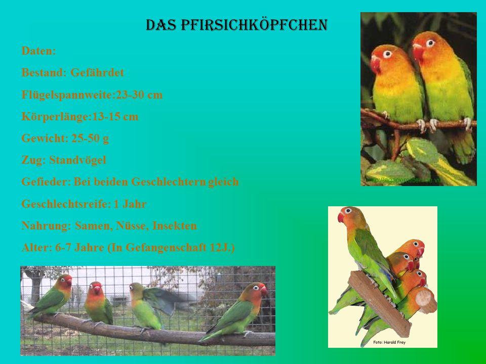 DAS PFIRSICHKÖPFCHEN Daten: Bestand: Gefährdet Flügelspannweite:23-30 cm Körperlänge:13-15 cm Gewicht: 25-50 g Zug: Standvögel Gefieder: Bei beiden Ge