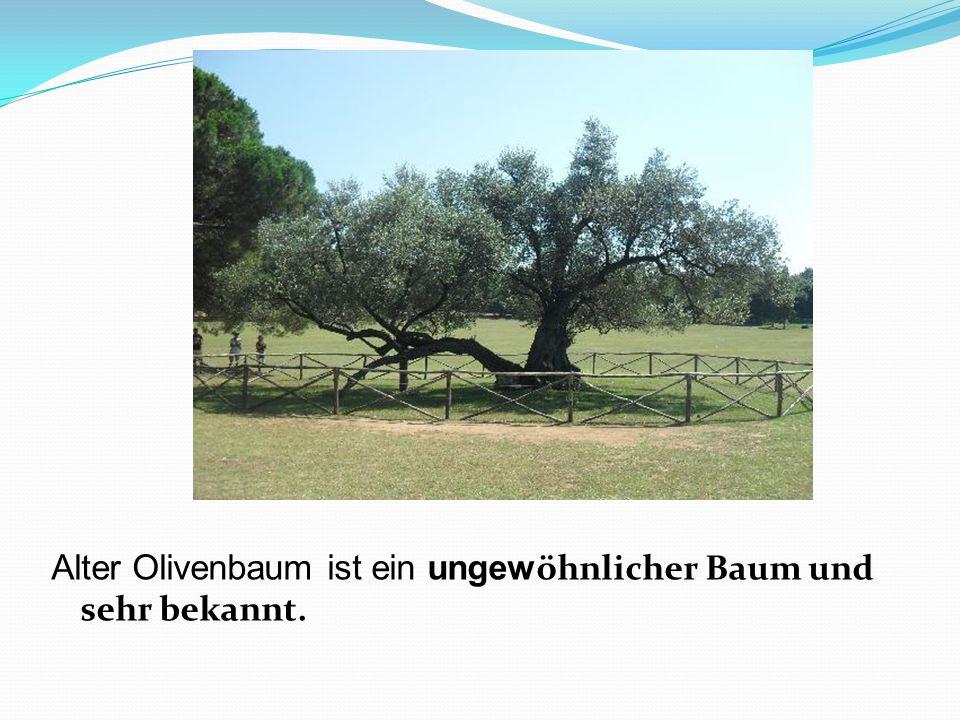 Alter Olivenbaum ist ein ungew öhnlicher Baum und sehr bekannt.