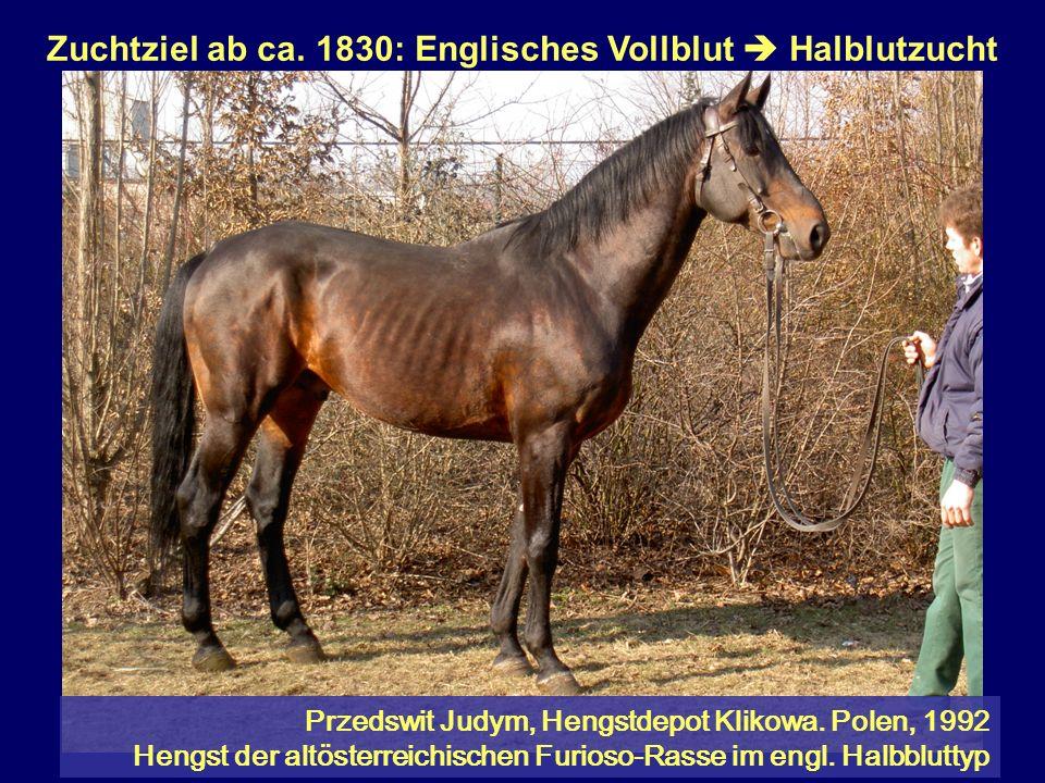 Zuchtziel ab ca. 1830: Englisches Vollblut Halblutzucht Przedswit Judym, Hengstdepot Klikowa. Polen, 1992 Hengst der altösterreichischen Furioso-Rasse