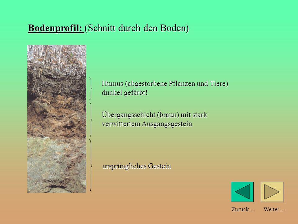Weiter…Zurück… Aus den Resten von Pflanzen und Tieren bildet sich Humus. Man erkennt ihn an der dunkleren Farbe. Bald können auch größere Pflanzen und