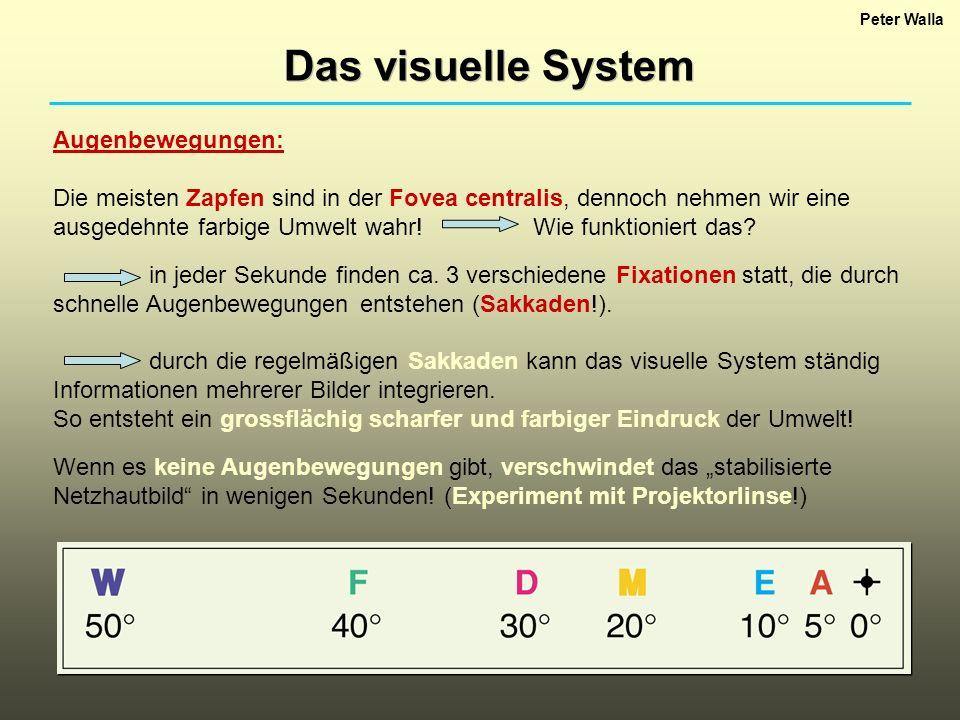 Peter Walla Das visuelle System Augenbewegungen: Die meisten Zapfen sind in der Fovea centralis, dennoch nehmen wir eine ausgedehnte farbige Umwelt wa