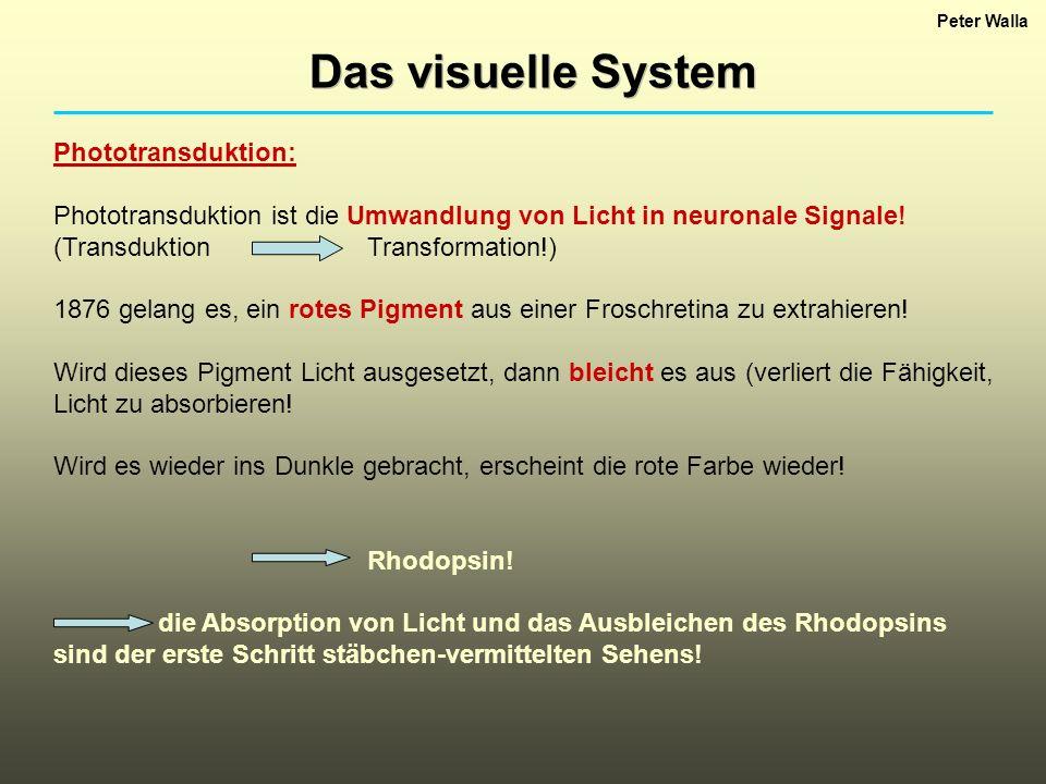 Peter Walla Das visuelle System Phototransduktion: Phototransduktion ist die Umwandlung von Licht in neuronale Signale! (TransduktionTransformation!)