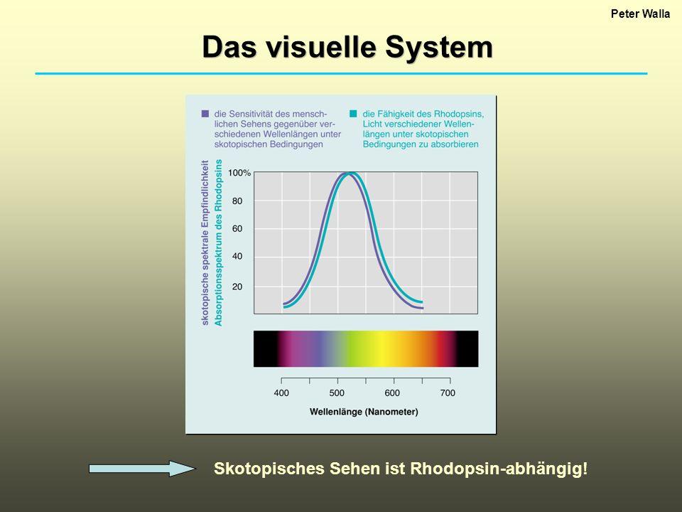 Peter Walla Das visuelle System Skotopisches Sehen ist Rhodopsin-abhängig!