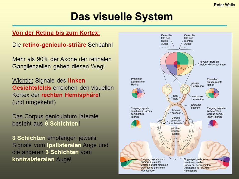 Peter Walla Das visuelle System Von der Retina bis zum Kortex: Die retino-geniculo-striäre Sehbahn! Mehr als 90% der Axone der retinalen Ganglienzelle