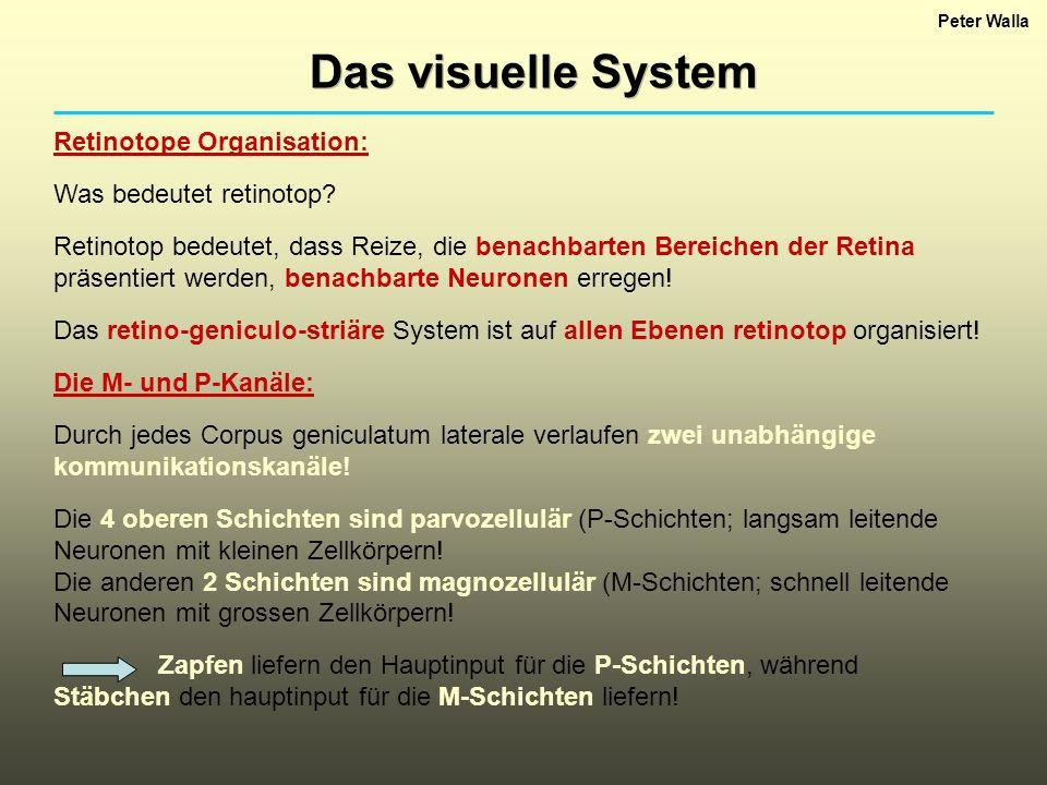 Peter Walla Das visuelle System Retinotope Organisation: Was bedeutet retinotop? Retinotop bedeutet, dass Reize, die benachbarten Bereichen der Retina