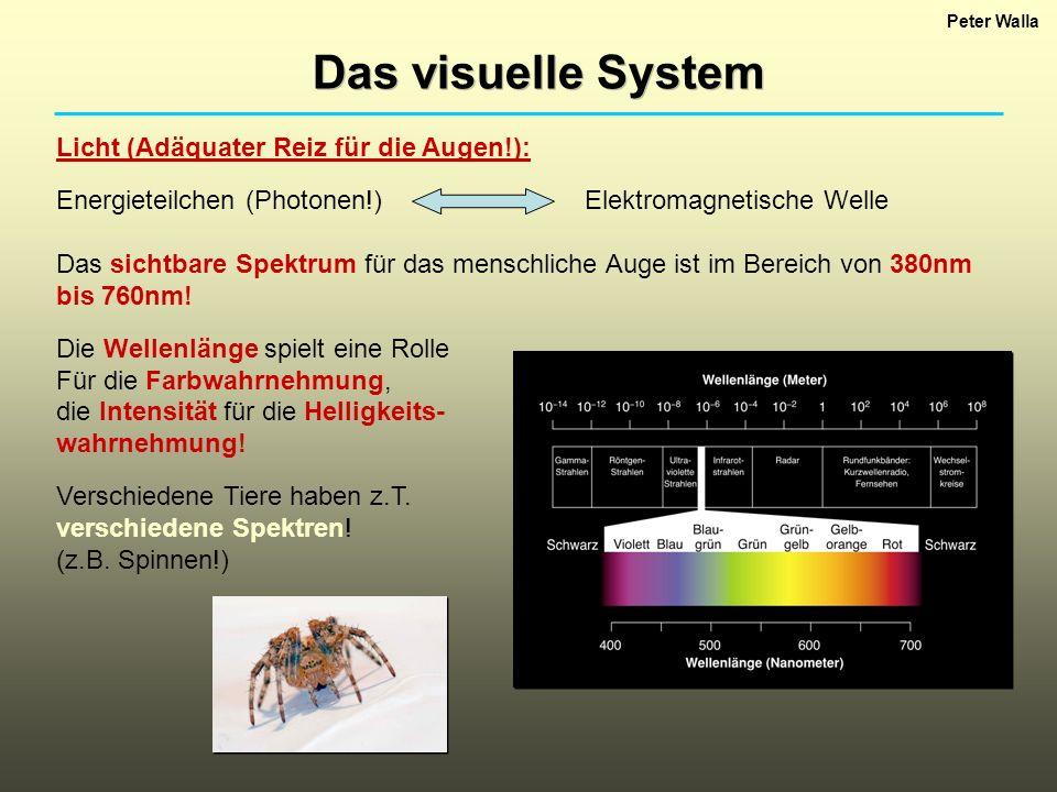 Peter Walla Das visuelle System Licht (Adäquater Reiz für die Augen!): Energieteilchen (Photonen!)Elektromagnetische Welle Das sichtbare Spektrum für