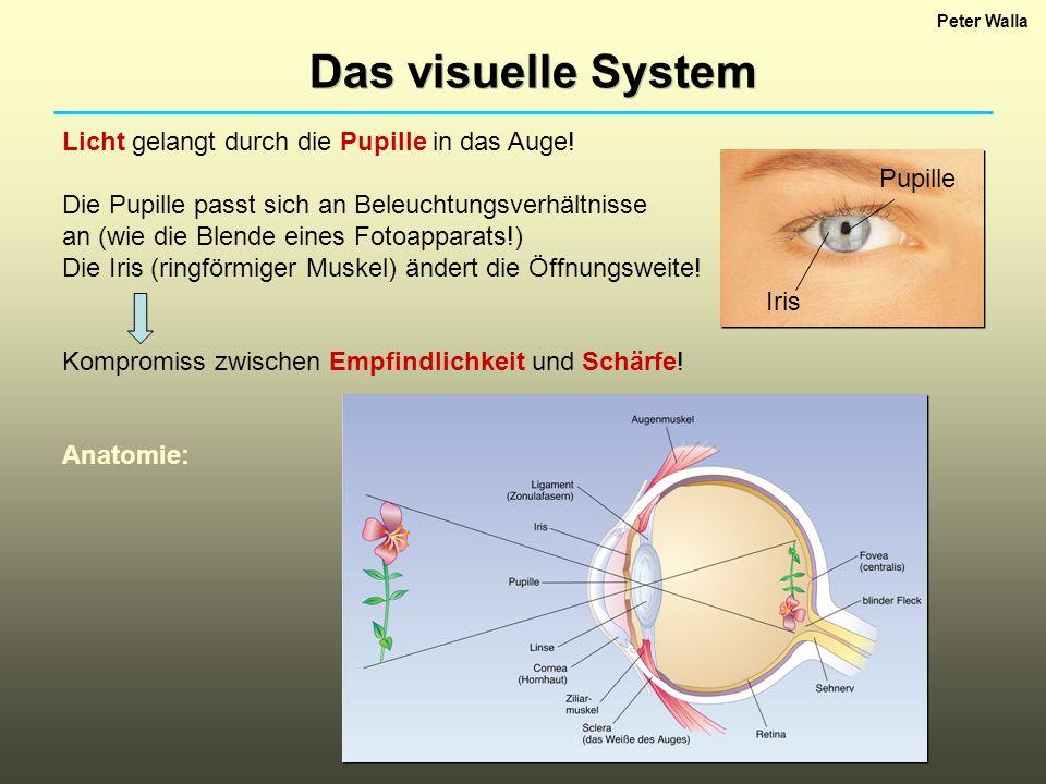 Peter Walla Das visuelle System Licht gelangt durch die Pupille in das Auge! Die Pupille passt sich an Beleuchtungsverhältnisse an (wie die Blende ein