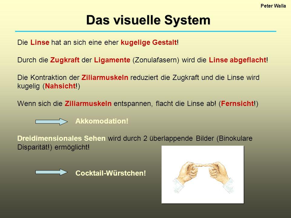 Peter Walla Das visuelle System Die Linse hat an sich eine eher kugelige Gestalt! Durch die Zugkraft der Ligamente (Zonulafasern) wird die Linse abgef
