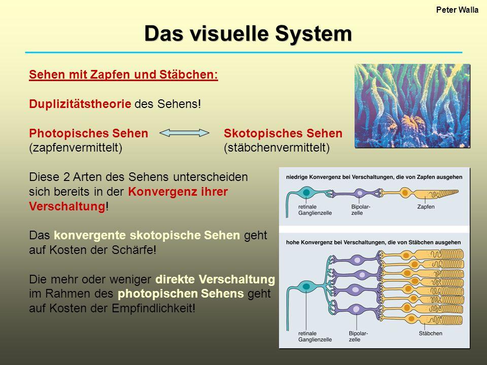 Peter Walla Das visuelle System Sehen mit Zapfen und Stäbchen: Duplizitätstheorie des Sehens! Photopisches SehenSkotopisches Sehen (zapfenvermittelt)(