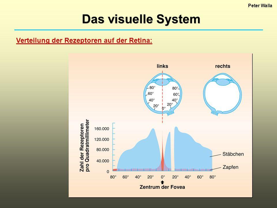 Peter Walla Das visuelle System Verteilung der Rezeptoren auf der Retina: