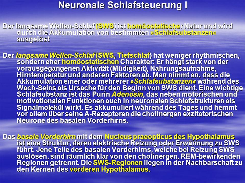 Neuronale Schlafsteuerung I Der langsame Wellen-Schlaf (SWS) ist homöostatischer Natur und wird durch die Akkumulation von bestimmten »Schlafsubstanze