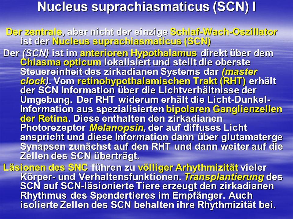 Nucleus suprachiasmaticus (SCN) I Der zentrale, aber nicht der einzige Schlaf-Wach-Oszillator ist der Nucleus suprachiasmaticus (SCN) Der zentrale, ab