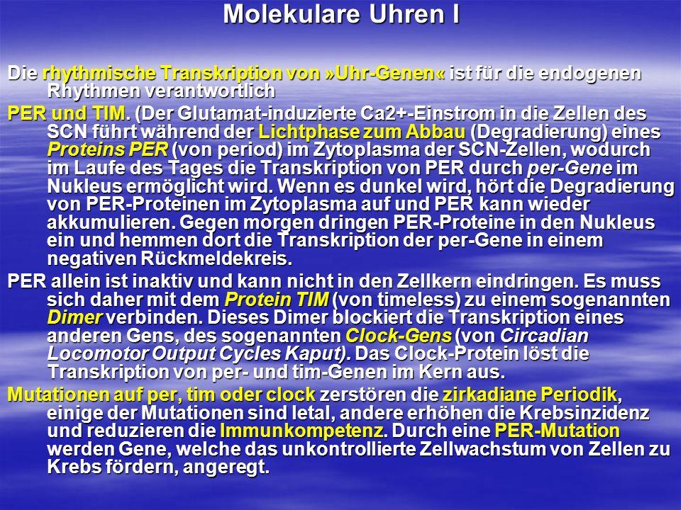Molekulare Uhren I Die rhythmische Transkription von »Uhr-Genen« ist für die endogenen Rhythmen verantwortlich PER und TIM. (Der Glutamat-induzierte C