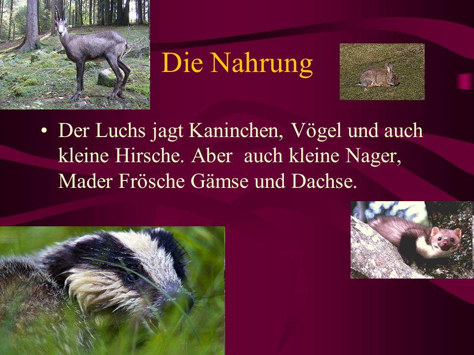 Die Nahrung Der Luchs jagt Kaninchen, Vögel und auch kleine Hirsche. Aber auch kleine Nager, Mader Frösche Gämse und Dachse.