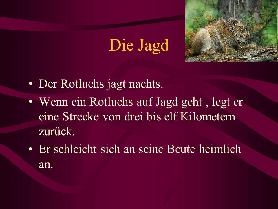 Die Jagd Der Rotluchs jagt nachts. Wenn ein Rotluchs auf Jagd geht, legt er eine Strecke von drei bis elf Kilometern zurück. Er schleicht sich an sein