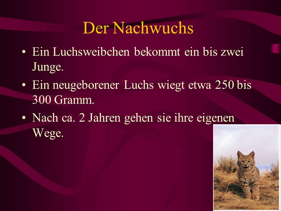 Der Nachwuchs Ein Luchsweibchen bekommt ein bis zwei Junge. Ein neugeborener Luchs wiegt etwa 250 bis 300 Gramm. Nach ca. 2 Jahren gehen sie ihre eige