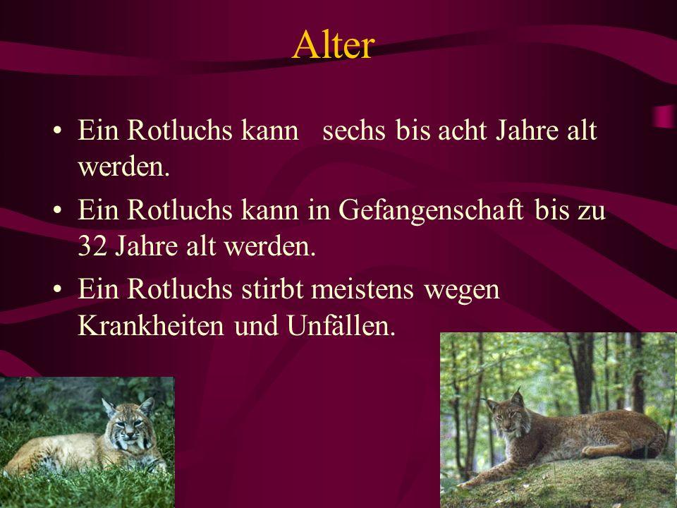 Alter Ein Rotluchs kann sechs bis acht Jahre alt werden. Ein Rotluchs kann in Gefangenschaft bis zu 32 Jahre alt werden. Ein Rotluchs stirbt meistens