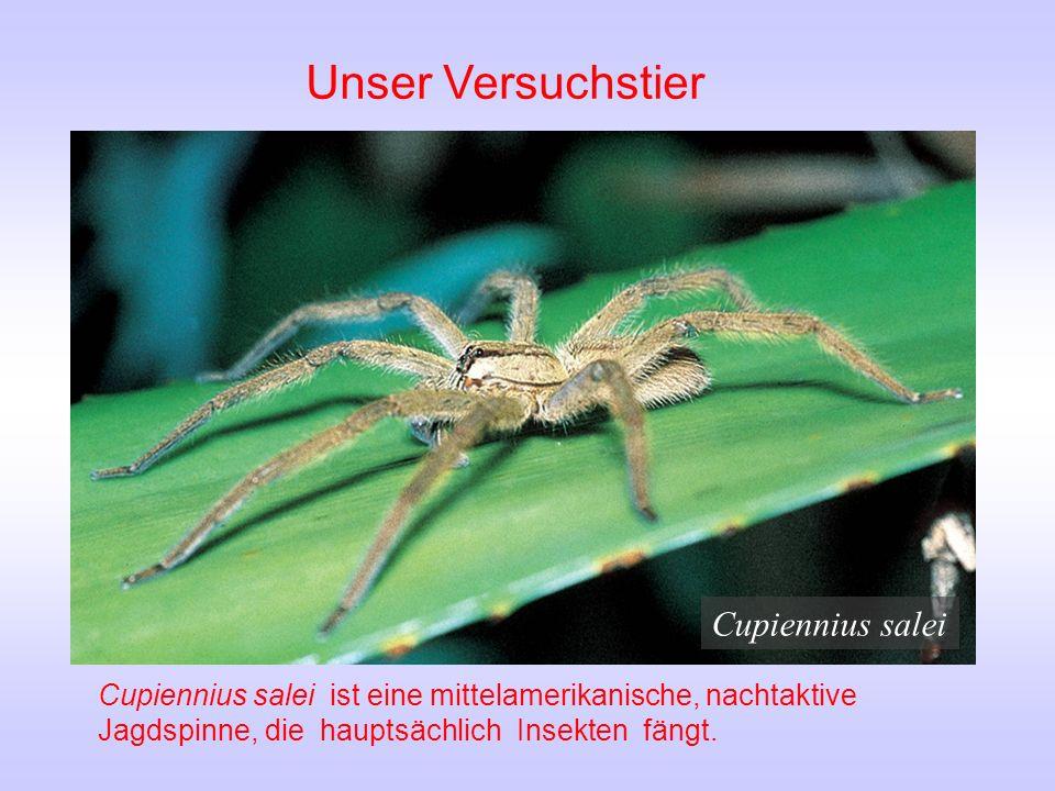 Unser Versuchstier Cupiennius salei Cupiennius salei ist eine mittelamerikanische, nachtaktive Jagdspinne, die hauptsächlich Insekten fängt.