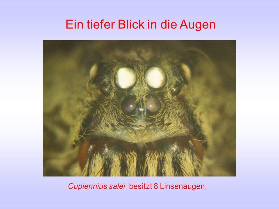 Ein tiefer Blick in die Augen Cupiennius salei besitzt 8 Linsenaugen.