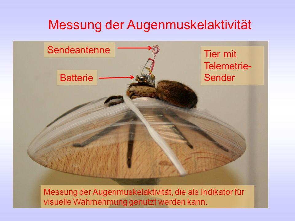 Tier mit Telemetrie- Sender Batterie Sendeantenne Messung der Augenmuskelaktivität, die als Indikator für visuelle Wahrnehmung genutzt werden kann.