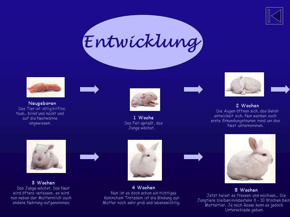 Kaninchen können 7 mal im Jahr Junge bekommen. Bei einer Geburt bringt das Weibchen nicht nur ein Junges zur Welt, sondern gleich mehrere auf einmal,