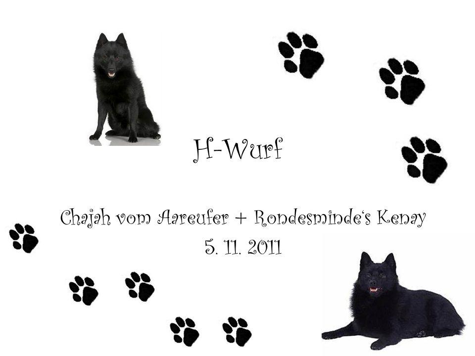 H-Wurf Chajah vom Aareufer + Rondesmindes Kenay 5. 11. 2011