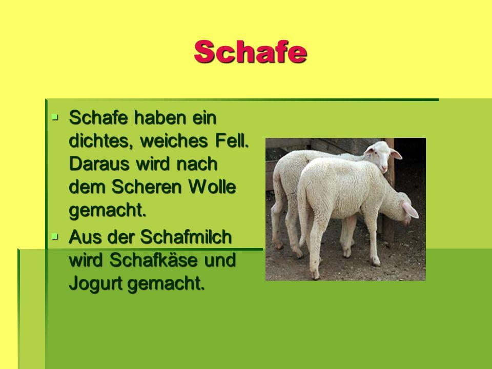 Schafe Schafe haben ein dichtes, weiches Fell. Daraus wird nach dem Scheren Wolle gemacht. Schafe haben ein dichtes, weiches Fell. Daraus wird nach de