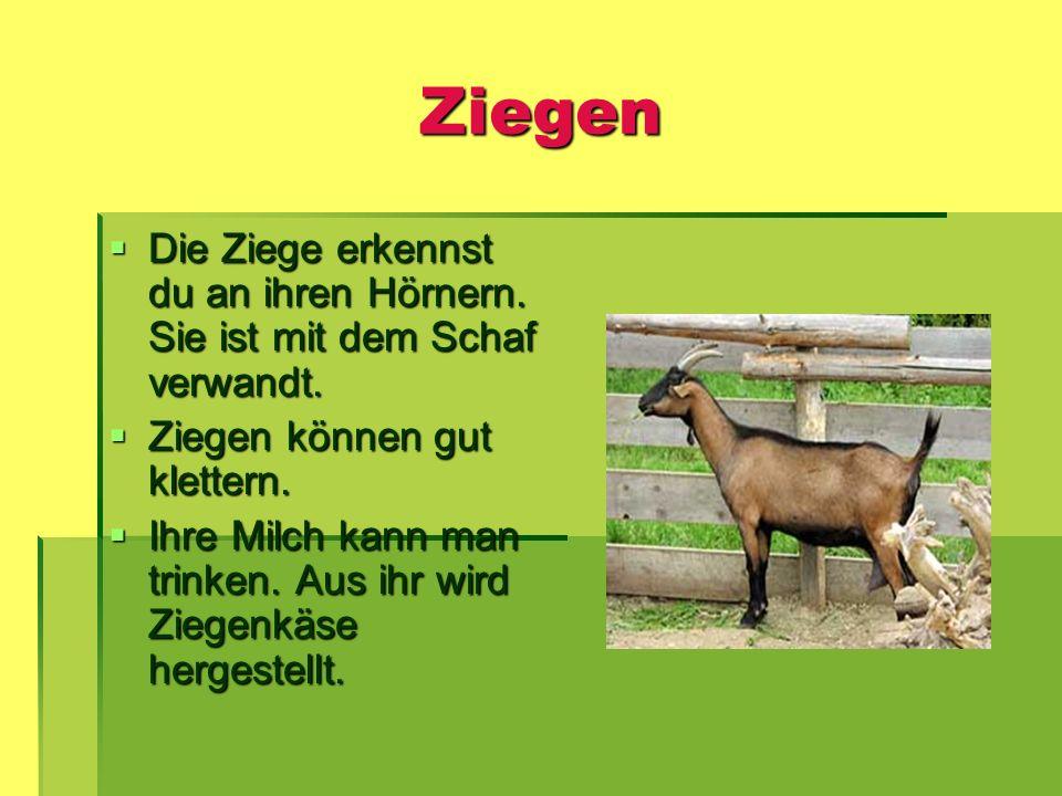 Ziegen Die Ziege erkennst du an ihren Hörnern. Sie ist mit dem Schaf verwandt. Die Ziege erkennst du an ihren Hörnern. Sie ist mit dem Schaf verwandt.