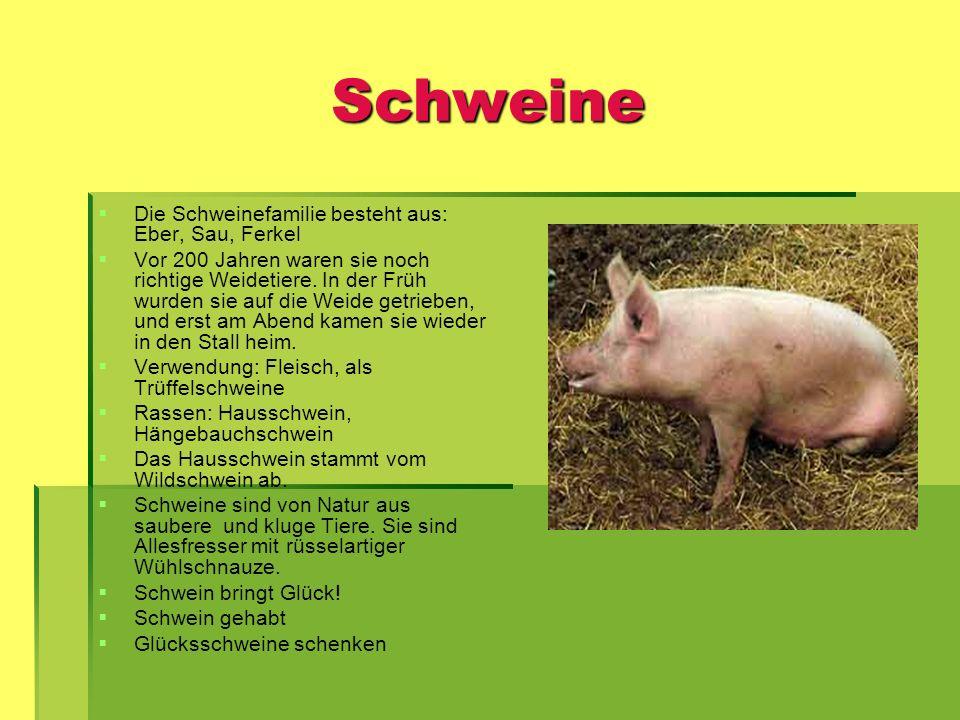 Schweine Die Schweinefamilie besteht aus: Eber, Sau, Ferkel Vor 200 Jahren waren sie noch richtige Weidetiere. In der Früh wurden sie auf die Weide ge