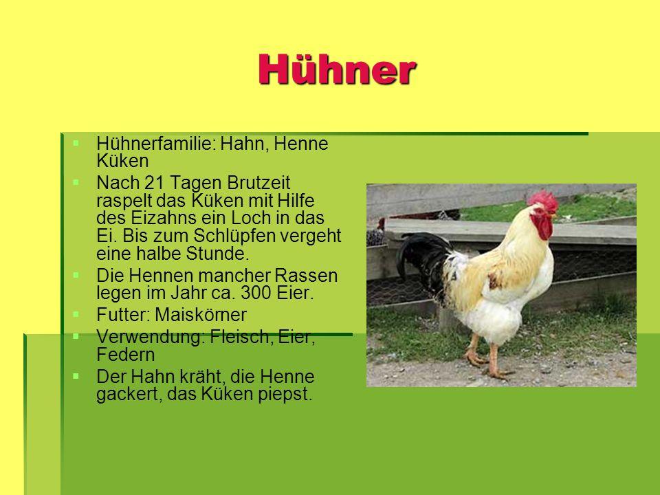 Hühner Hühnerfamilie: Hahn, Henne Küken Nach 21 Tagen Brutzeit raspelt das Küken mit Hilfe des Eizahns ein Loch in das Ei. Bis zum Schlüpfen vergeht e
