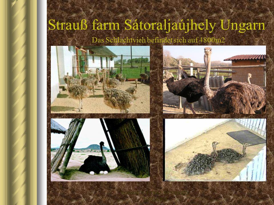 SOMOGY-STRAUSS VEREIN UNGARN Strauß farm Balatonfüred Ungarn Das Schlachtvieh befindet sich auf 4800m2