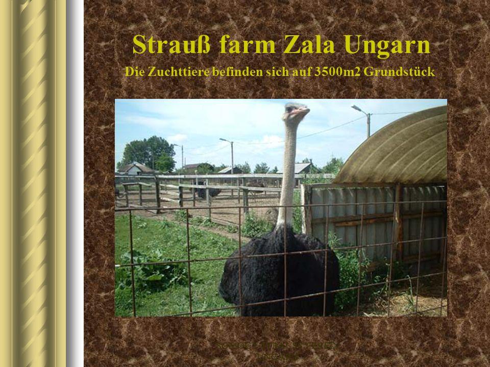 SOMOGY-STRAUSS VEREIN UNGARN Strauß farm Bálványos Ungarn Die Zuchttiere befinden sich auf 5500m2 Grundstück