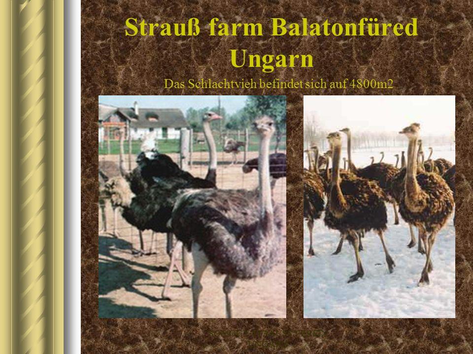 SOMOGY-STRAUSS VEREIN UNGARN Strauß farm Zala Ungarn Die Zuchttiere befinden sich auf 3500m2 Grundstück