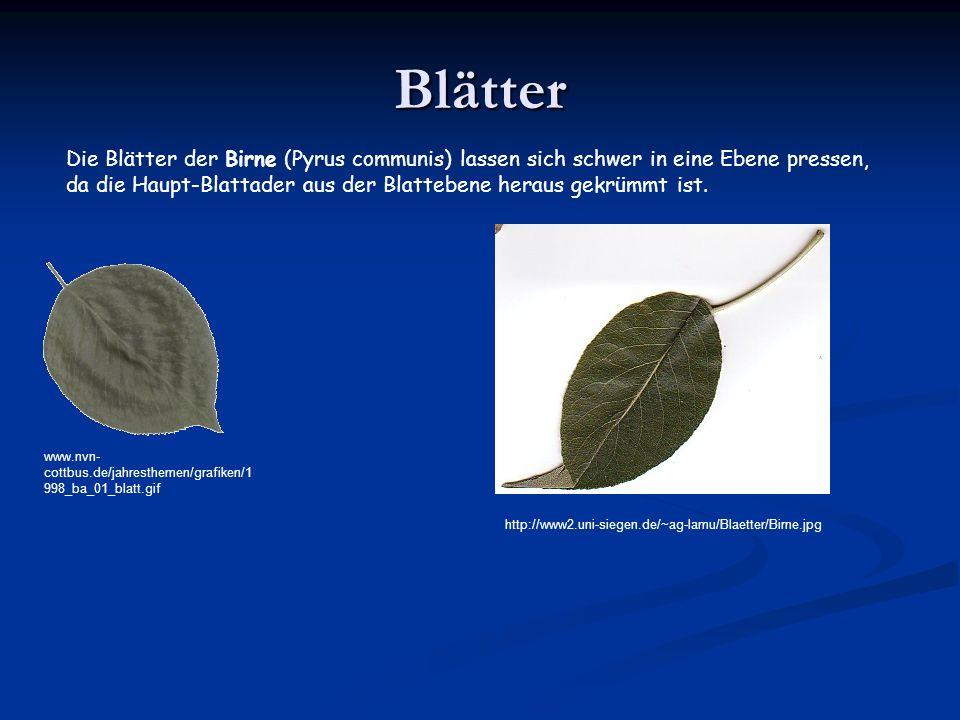 Blätter www.nvn- cottbus.de/jahresthemen/grafiken/1 998_ba_01_blatt.gif Die Blätter der Birne (Pyrus communis) lassen sich schwer in eine Ebene pressen, da die Haupt-Blattader aus der Blattebene heraus gekrümmt ist.