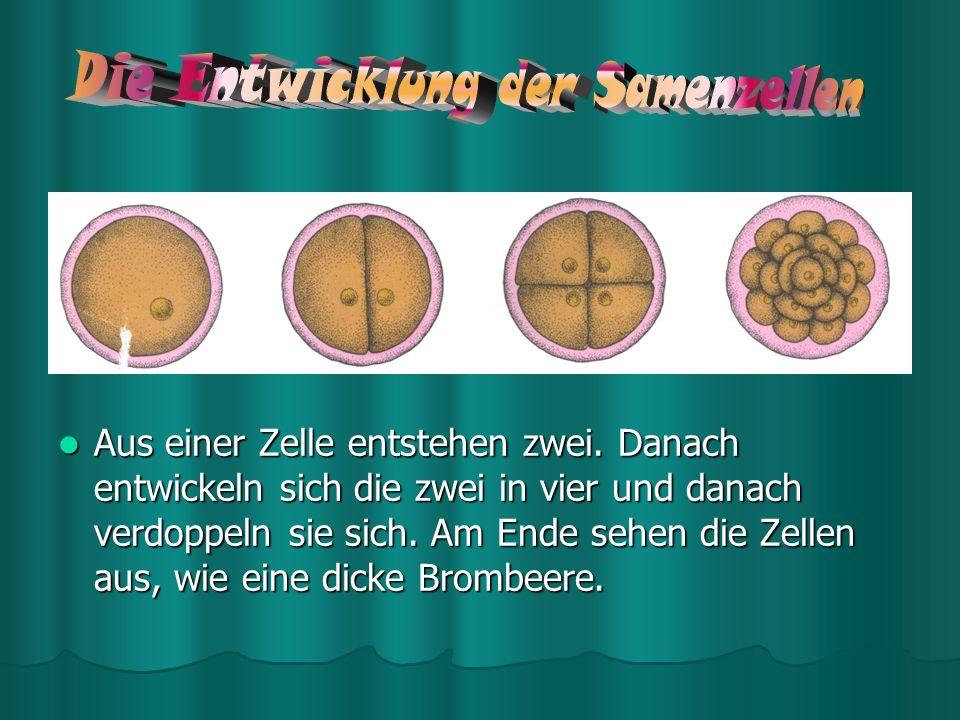 Die Schwangerschaft beginnt, wenn eine Samenzelle des Mannes eine Eizelle der Frau befruchtet und sich die befruchtete Zelle in der Gebärmutterschleim