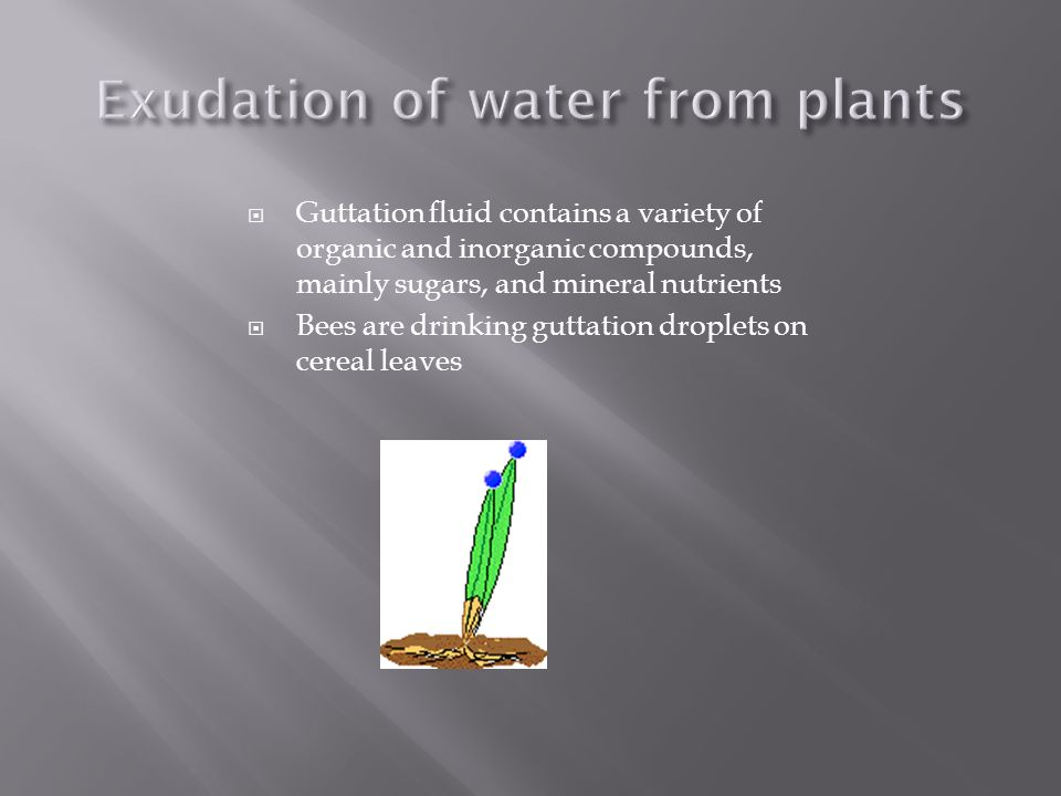 Guttation fluid contains a variety of organic and inorganic compounds, mainly sugars, and mineral nutrients Bees are drinking guttation droplets on ce