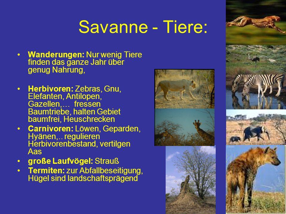 Savanne - Tiere: Wanderungen: Nur wenig Tiere finden das ganze Jahr über genug Nahrung, Herbivoren: Zebras, Gnu, Elefanten, Antilopen, Gazellen,… fres