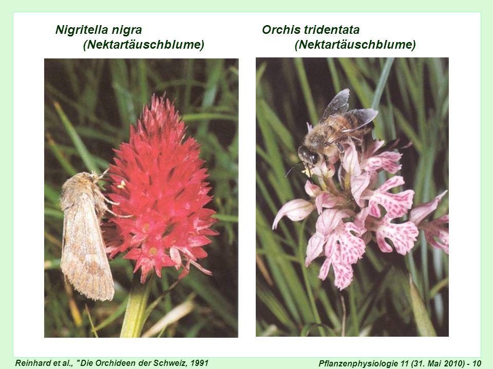 Pflanzenphysiologie 11 (31. Mai 2010) - 10 Nigritella nigra Orchis tridentata (Nektartäuschblume) (Nektartäuschblume) Nigritella und Orchis Reinhard e