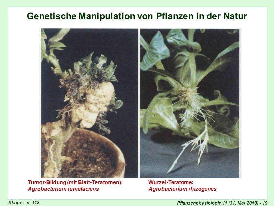 Pflanzenphysiologie 11 (31. Mai 2010) - 19 Genetische Manipulation von Pflanzen in der Natur Tumor-Bildung (mit Blatt-Teratomen): Agrobacterium tumefa