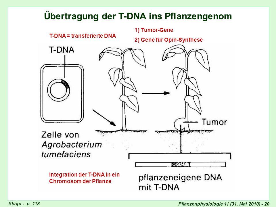 Pflanzenphysiologie 11 (31. Mai 2010) - 20 Übertragung der T-DNA ins Pflanzengenom T-DNA = transferierte DNA Integration der T-DNA in ein Chromosom de