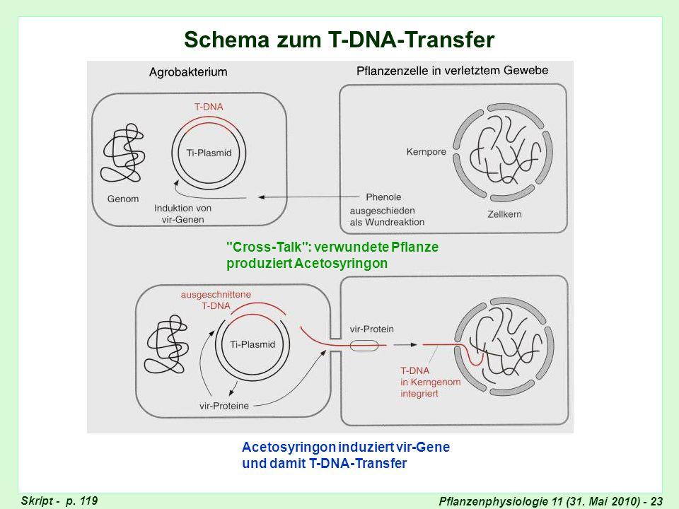 Pflanzenphysiologie 11 (31. Mai 2010) - 23 Schema zum T-DNA-Transfer