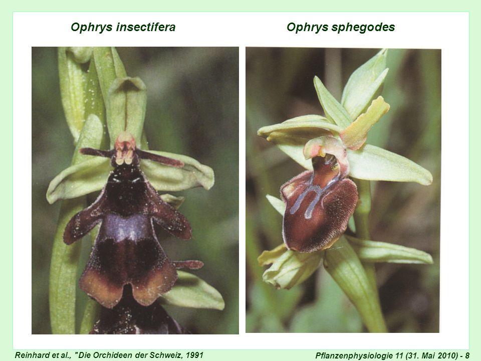 Pflanzenphysiologie 11 (31. Mai 2010) - 8 Ophrys insectifera Ophrys sphegodes Ophrys-Arten Reinhard et al.,