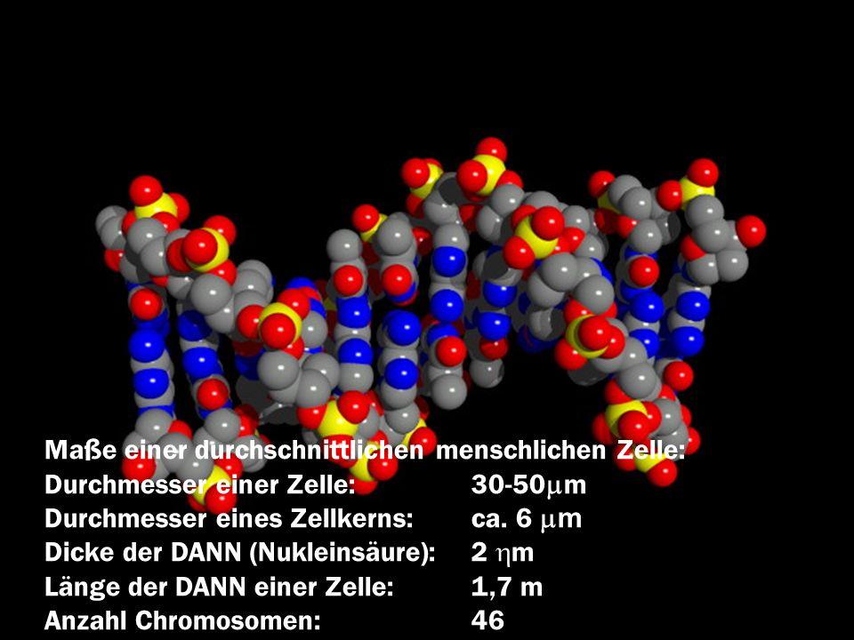 Maße einer durchschnittlichen menschlichen Zelle: Durchmesser einer Zelle:30-50 m Durchmesser eines Zellkerns:ca. 6 m Dicke der DANN (Nukleinsäure):2