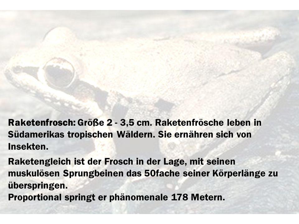 Raketenfrosch: Größe 2 - 3,5 cm. Raketenfrösche leben in Südamerikas tropischen Wäldern. Sie ernähren sich von Insekten. Raketengleich ist der Frosch