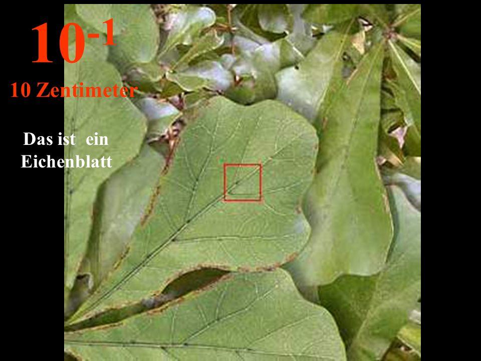 Das ist ein Eichenblatt 10 -1 10 Zentimeter