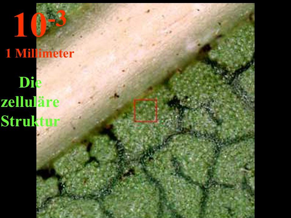 Die zelluläre Struktur 10 -3 1 Millimeter
