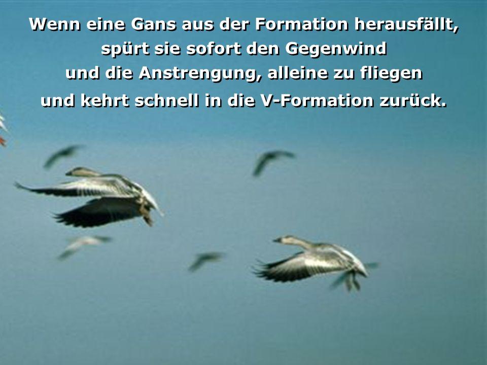 Jede Gans erzeugt mit ihren Flügeln einen Luftwirbel, der die Gans seitlich hinter Ihr vor dem Gegenwind schützt. Dadurch fliegt der Schwarm in einer