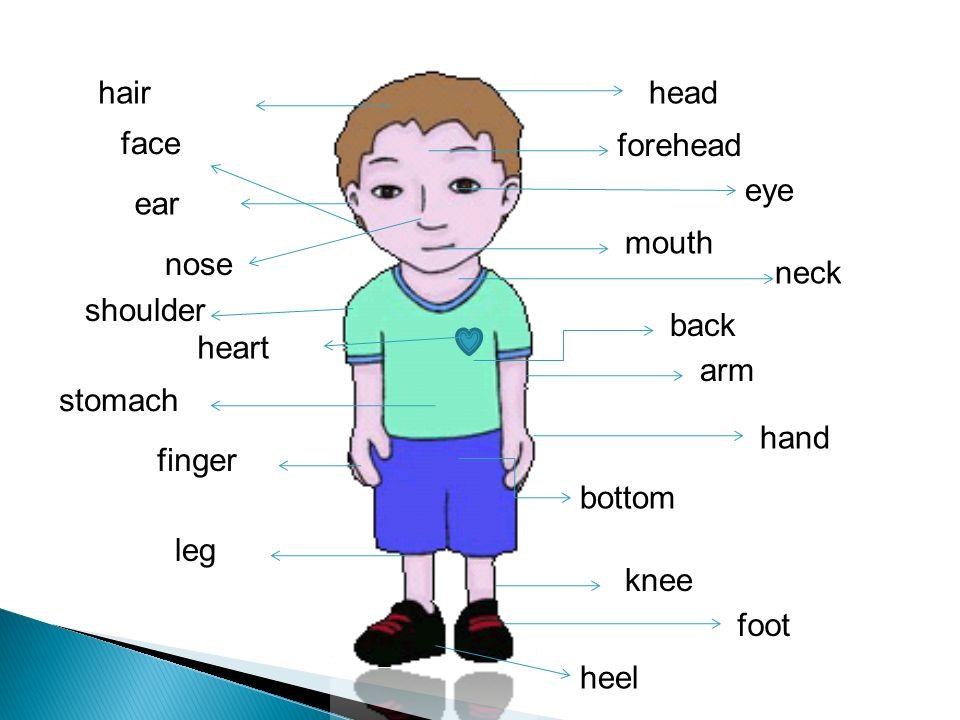 head hair forehead eye mouth neck nose shoulder arm stomach hand finger leg knee foot back bottom heel heart face ear