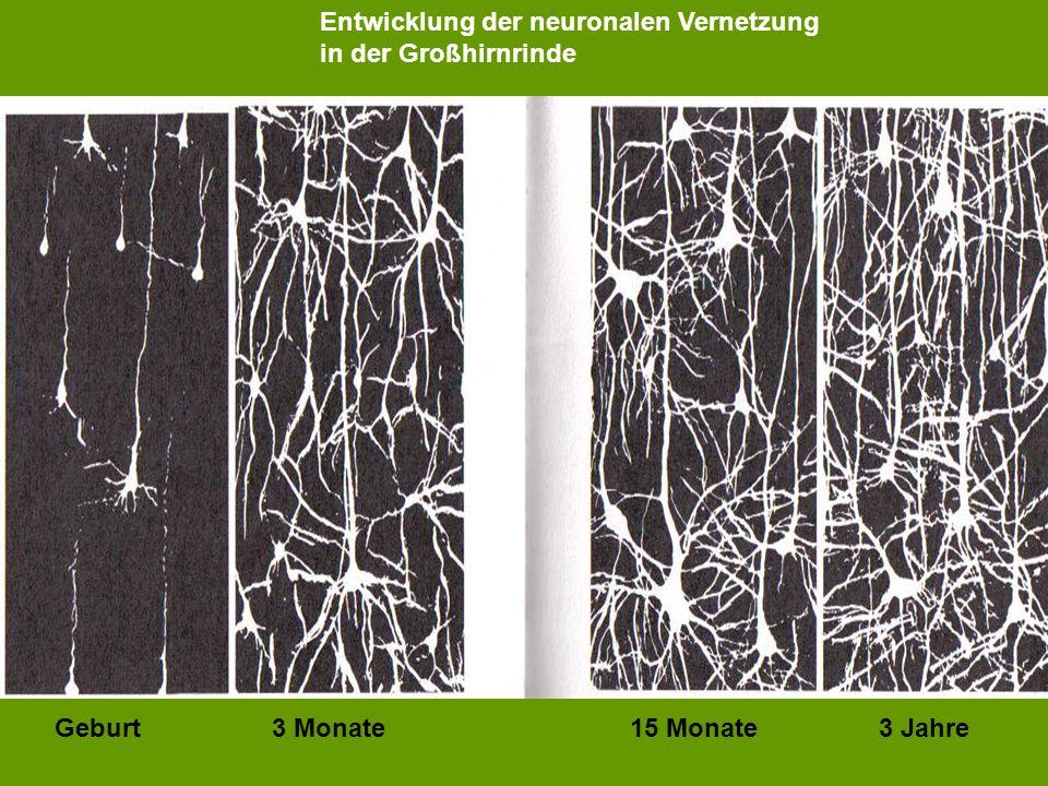 Entwicklung der neuronalen Vernetzung in der Großhirnrinde Geburt 3 Monate 15 Monate 3 Jahre